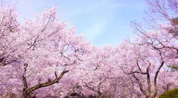 桜を待ち受けに