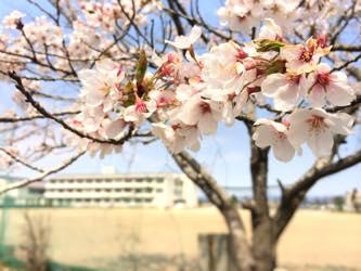 学校や川沿いに桜の樹