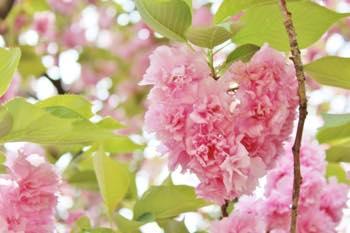 桜に関連するおまじない