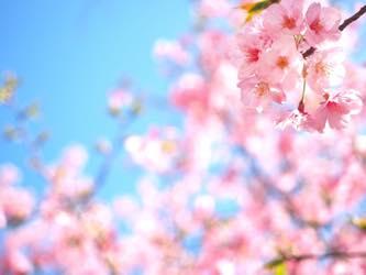 桜の嬉しい効果