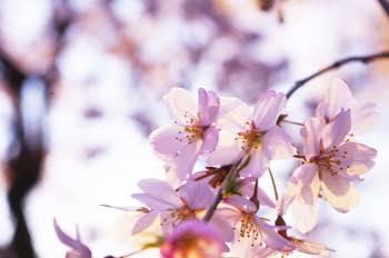 桜に関連する雑学5選